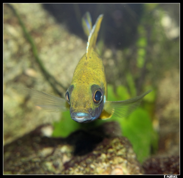 aulonocara baenschi nkhomo reef